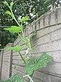 Cucurbita moschata (zapallo espontáneo) yema floral femenina F03 vista lateral masculina M04 yema apical disposición hojas y yemas en la rama vertical.JPG