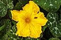Cucurbita moschata - flower.jpg