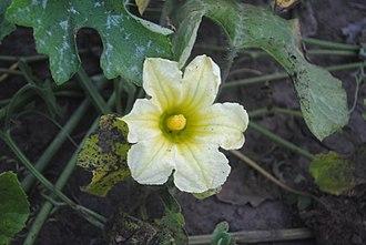 Cucurbita okeechobeensis - Male flower at anthesis of Cucurbita okeechobeensis