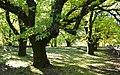 Cultivo de castaños (39671035143).jpg