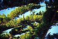 Cupressus macrocarpa Carmel Bay 2.jpg