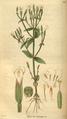 Curtis's Botanical Magazine, Plate 3066 (Volume 58, 1831).png