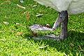 Cygnus olor (Küken2) - Arboretum 2011-07-15 16-13-54.JPG