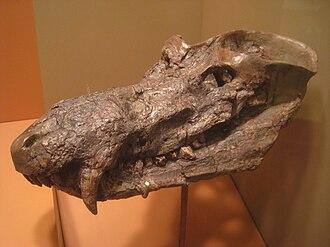 Cynognathus - Fossil skull of Cynognathus crateronotus