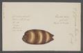 Cypraea talpa - - Print - Iconographia Zoologica - Special Collections University of Amsterdam - UBAINV0274 088 02 0040.tif