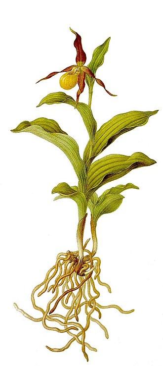 Franz Bauer - Image: Cypripedium calceolus (Bauer) clean