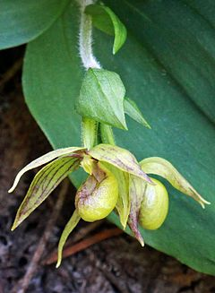 Cypripedium fasciculatum (14639706125) cropped 1.jpg