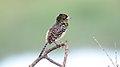 D'Arnaud's Barbet (Trachyphonus darnaudii) (46524938552).jpg
