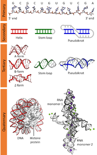 Nucleic acid structure organization of DNA and RNA molecules at different scales