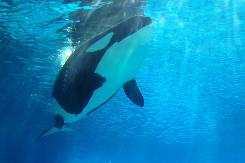 File:DSC09183 - Killer Whale (36407218133).jpg