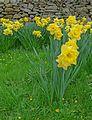 Daffodils in Addingham churchyard (26238730460).jpg