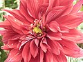 Dahlia from lalbagh 1940.JPG
