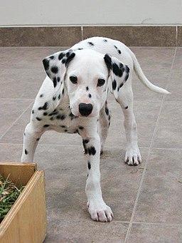 Dalmatian puppy food