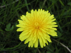 Dandelion close-up.jpg