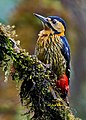 DarjeelingWoodpecker Singalila.jpg