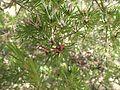 Darwinia procera.jpg