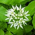 Daslook (Allium ursinum) 26-04-2020. (actm.) 02.jpg