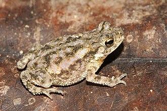 Duttaphrynus scaber - Image: Davidraju D.scaber img f 9