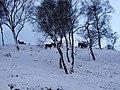 Deer in the snow - geograph.org.uk - 339780.jpg