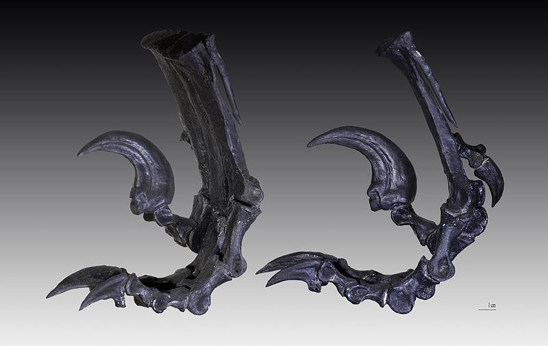 File:Deinonychus patte arrière gauche.jpg