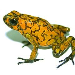 Dendrobates sylvaticus PLoS.jpg