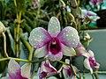 Dendrobium cultivar 78.jpg
