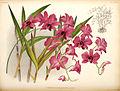 Dendrobium phalaenopsis435566.jpg