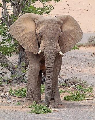 Desert elephant - Image: Desert elephant (Loxodonta africana) male