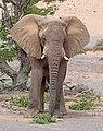 Desert elephant (Loxodonta africana) male.jpg