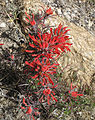 Desert paintbrush Castilleja chromosa close front.jpg