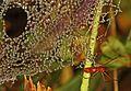 Dew on Scarlet Sheetweb Weaver (Florinda coccinea) web, Julie Metz Wetlands, Woodbridge, Virginia.jpg