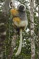 Diademed Sifaka - Andasibe - Madagascar MG 0814 (15280049995).jpg