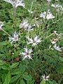 Dianthus arenarius 01.JPG
