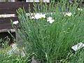 Dianthus caryophyllus2.jpg