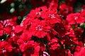 Dianthus chinensis Telstar Crimson 0zz.jpg