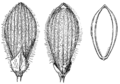 Dichanthelium nodatum (as Panicum nodatum) HC-1935.png