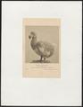 Didus ineptus - 1700-1880 - Print - Iconographia Zoologica - Special Collections University of Amsterdam - UBA01 IZ15600017.tif