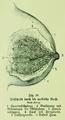 Die Frau als Hausärztin (1911) 029 Teilschnitt durch die weibliche Brust.png