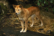 Photo d'un dingo.
