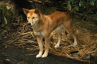 Dingo2.jpg