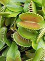 Dionaea muscipula Brest crop.jpg