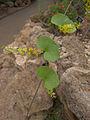 Dioscorea elephantipes, Phipps Conservatory, 2015-10-13, 01.jpg