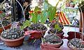 Dioscorea mexicana 1e.jpg
