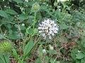 Dipsacus pilosus inflorescence (08).jpg