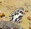 Discolampa ethion – Banded Blue Pierrot 04.JPG