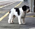 Dog at Whangarei RailStation (29022038601).jpg