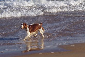 Spaniel - Welsh Springer Spaniel on the beach