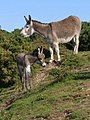 Donkeys by the pond, East End, New Forest - geograph.org.uk - 455826.jpg
