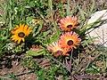 Dorotheanthus bellidiformis - Western Cape-P9200061.jpg