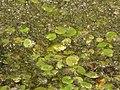 Dragoman marsh, Bulgaria 015.JPG